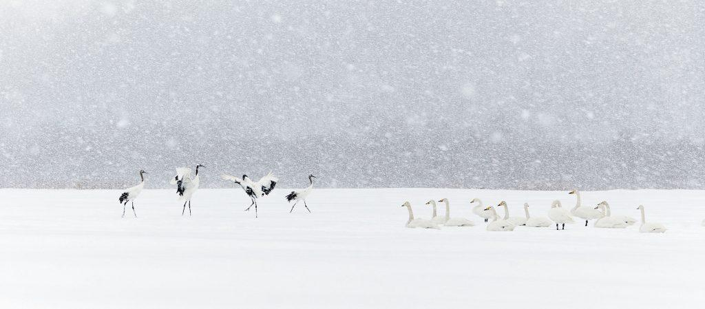 Oiseaux-en-majeste-Markus-Varesvuo-Delachaux-et-Niestlé